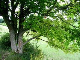 astrologie celte, votre arbre: chene