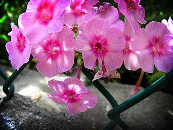 21-fleurs-roses