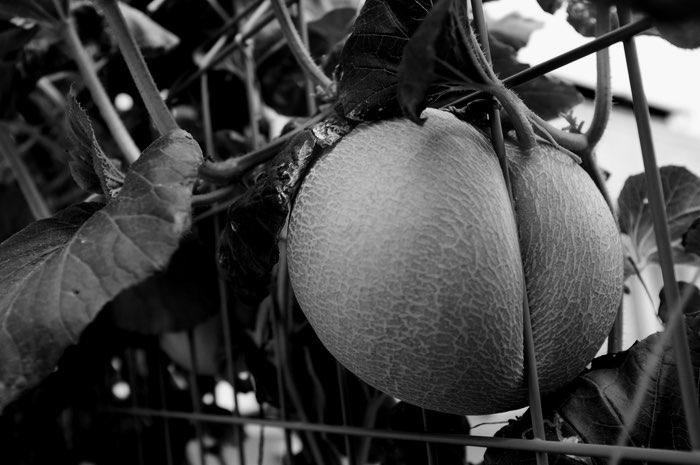 Fruit poussant entre les mailles d'une cloture