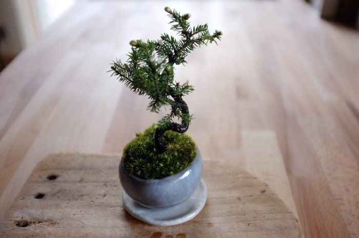 Arbre bonsai dans de la mousse