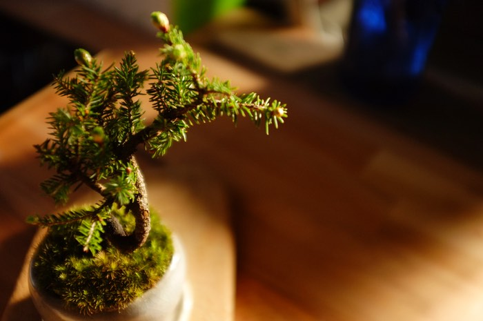 pin bonsai sur mousse