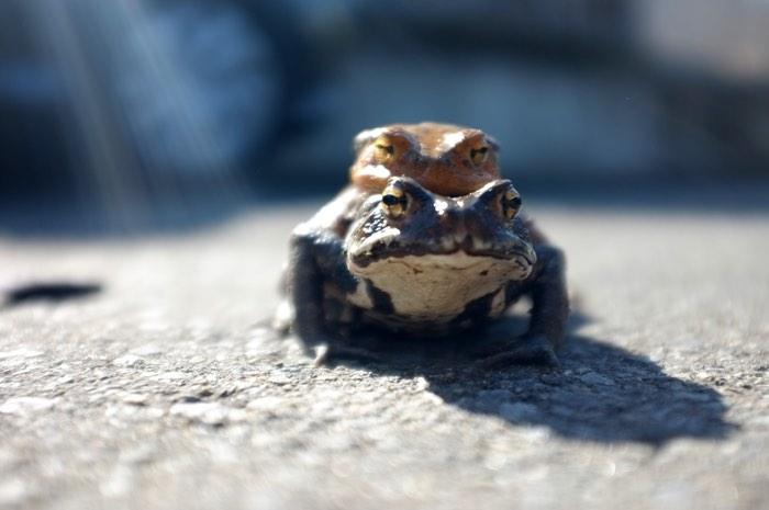 Deux grenouilles accouplées