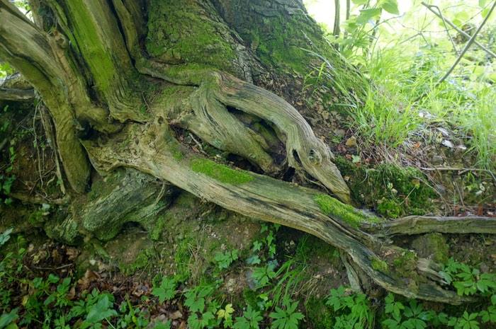 Racine d'arbre avec mousse