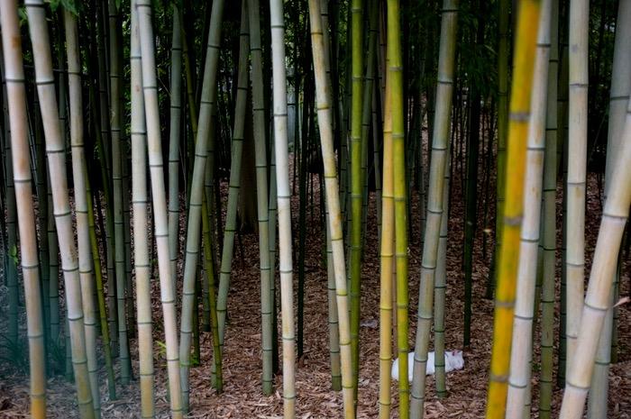 chat au milieu des bambous