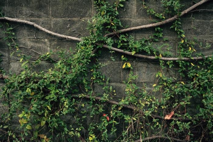 Mur et lierre