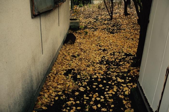 Feuilles mortes jaunes entre deux murs