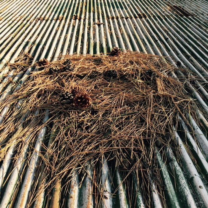 Aiguilles de pin sur un toit ondulé
