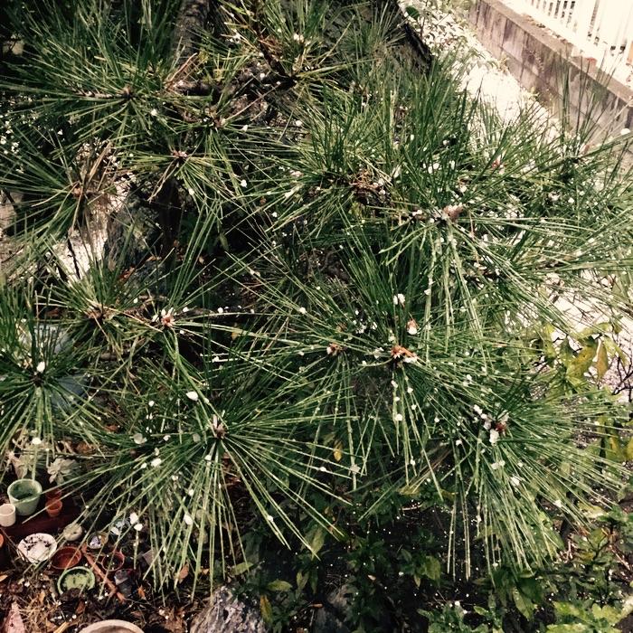grêle sur un pin