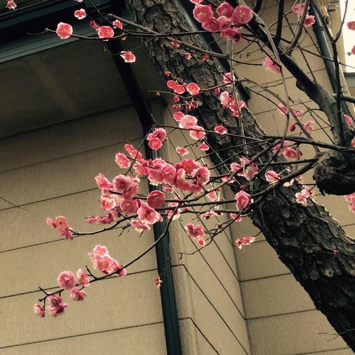 Prunier fleuri