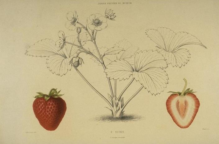 Planche botanique de fraises