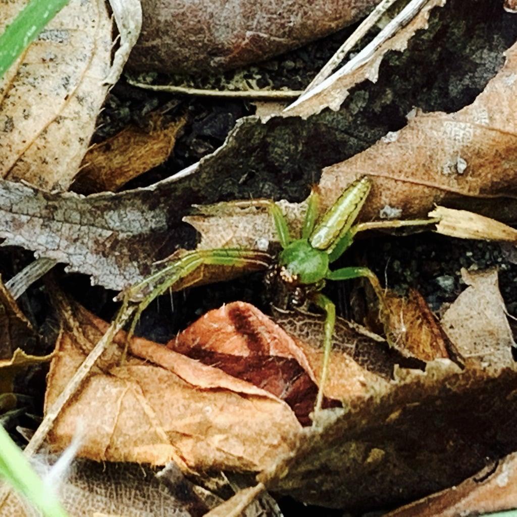 Araignée verte