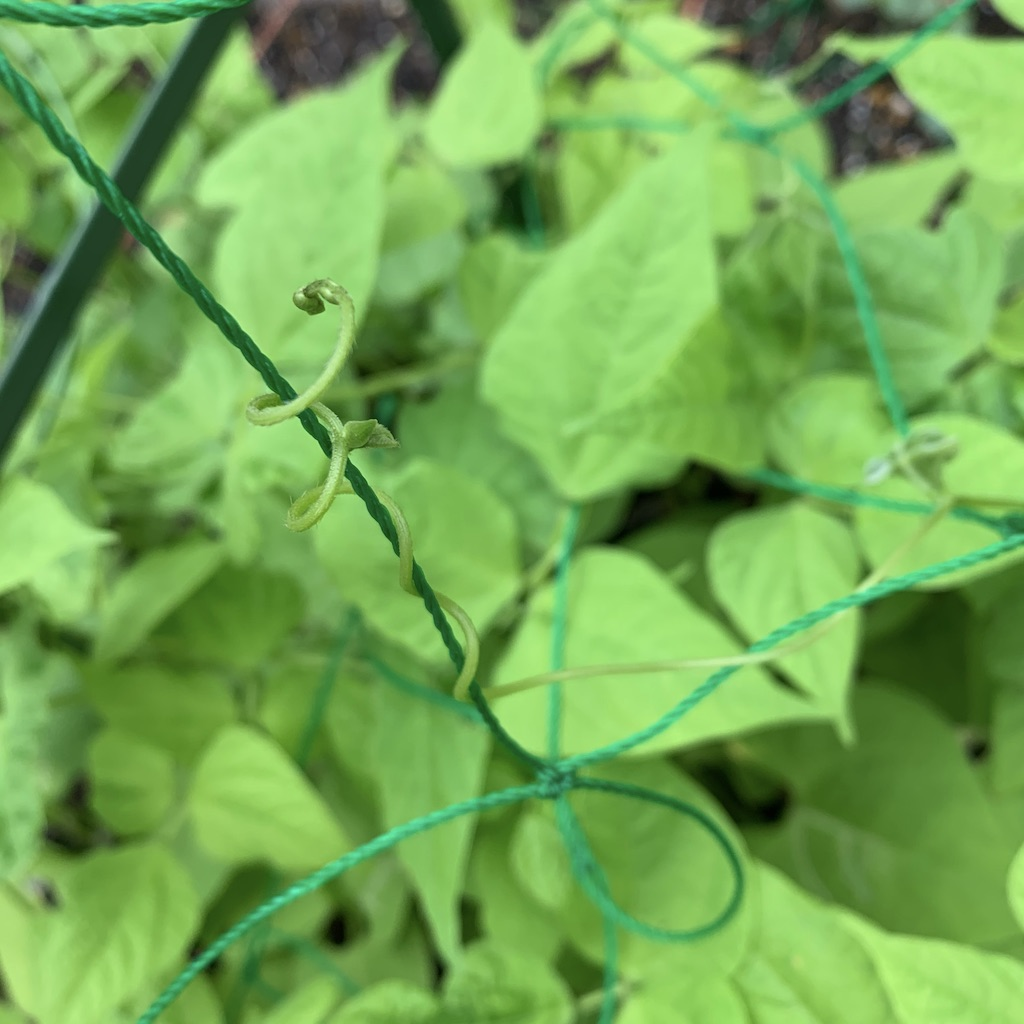 Haricots verts s'enroulant