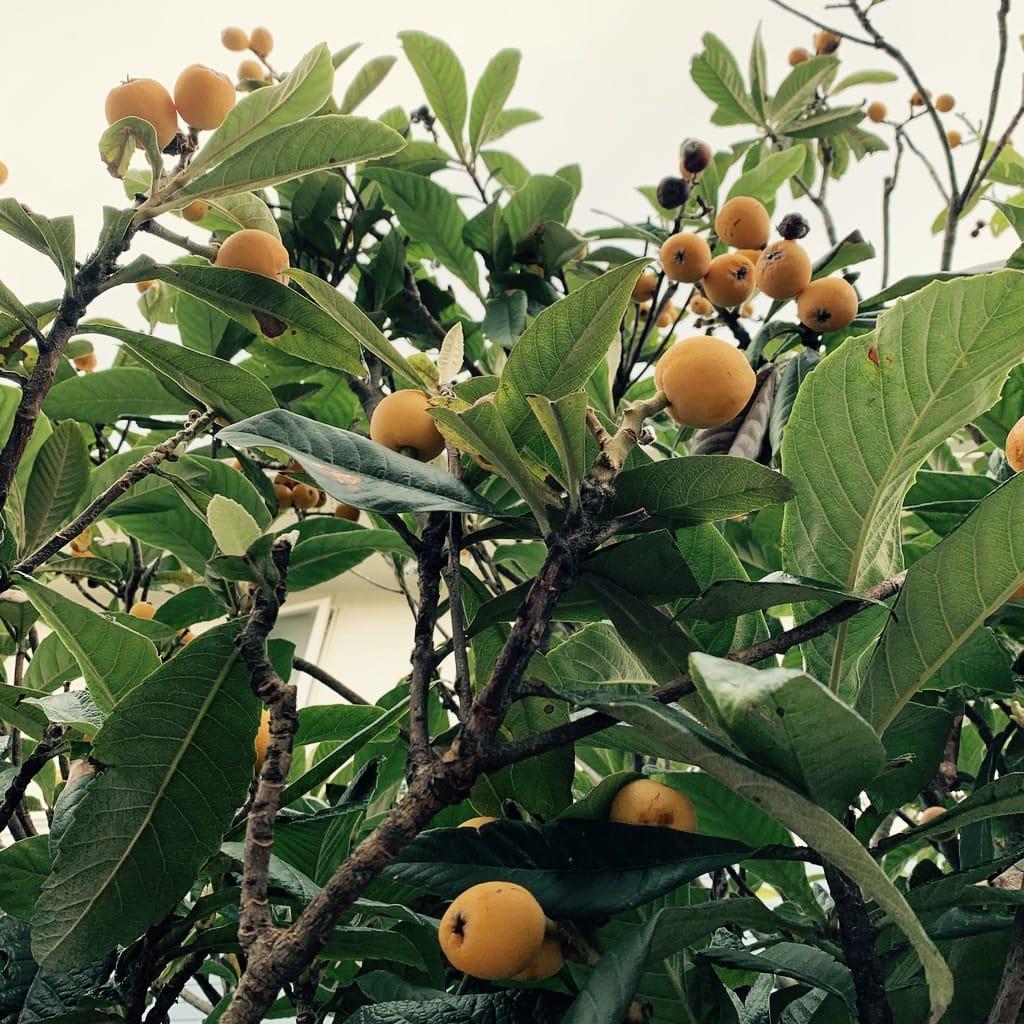 fruits de biwa