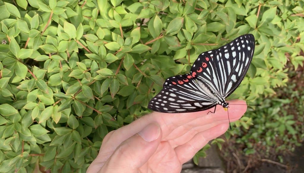 Papillon Akaboshigomadara