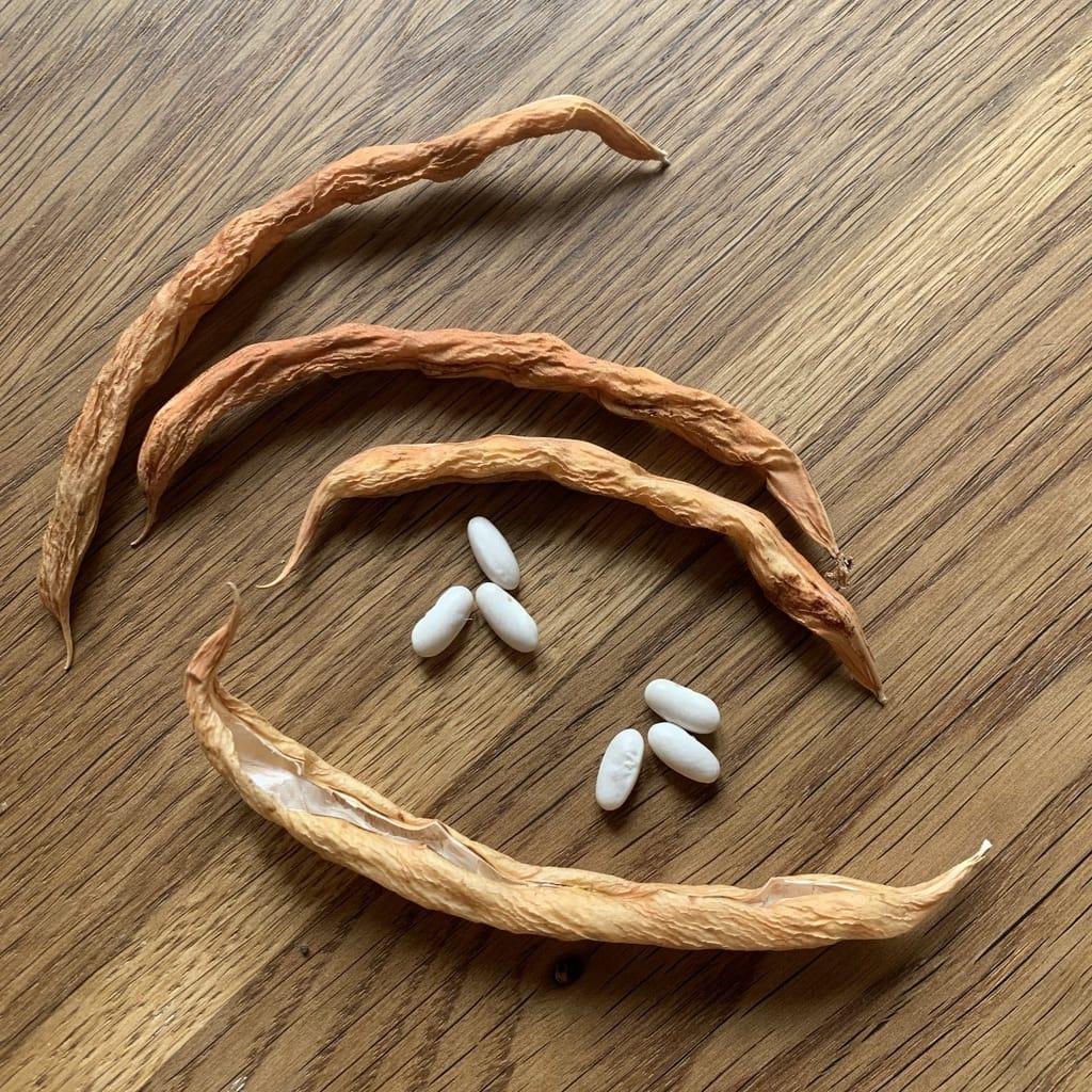 graines de haricot