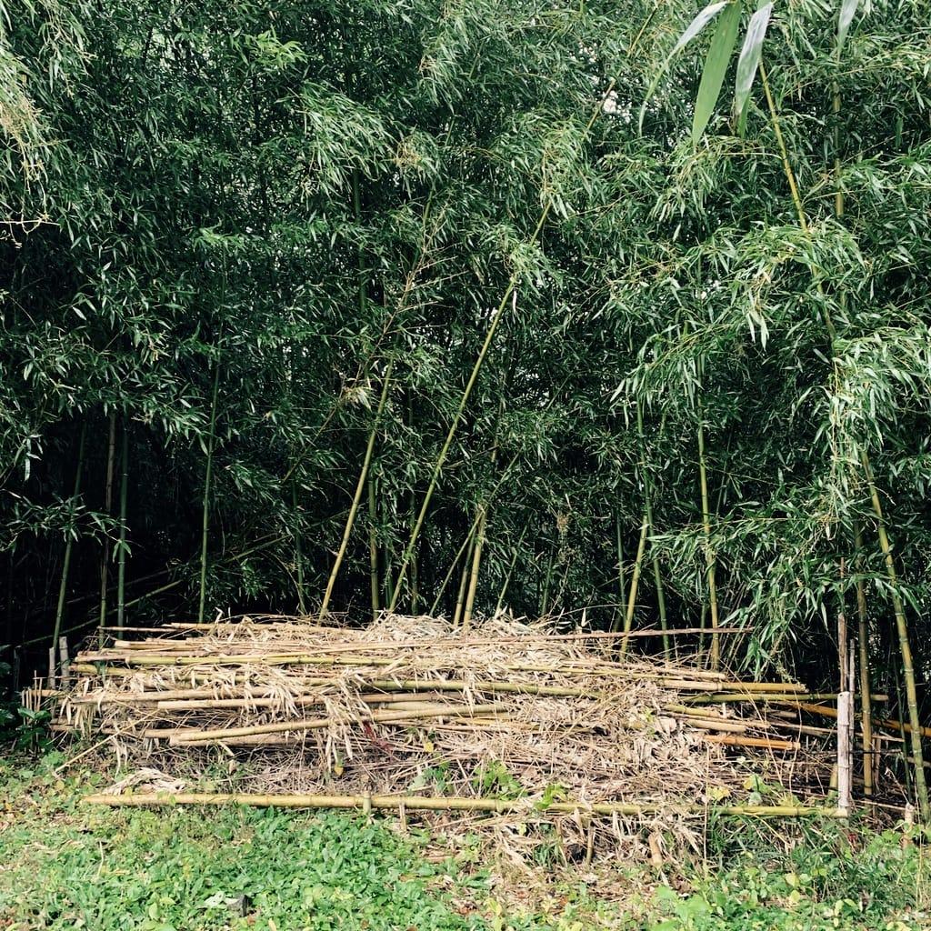 bambous debouts et coupés