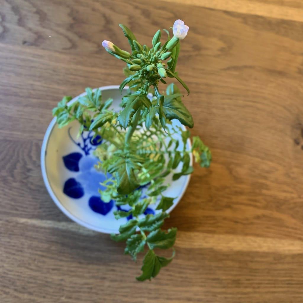 daikon en fleurs