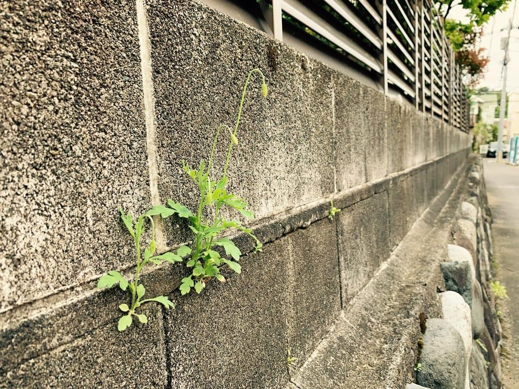 Coquelicots poussant sur un mur