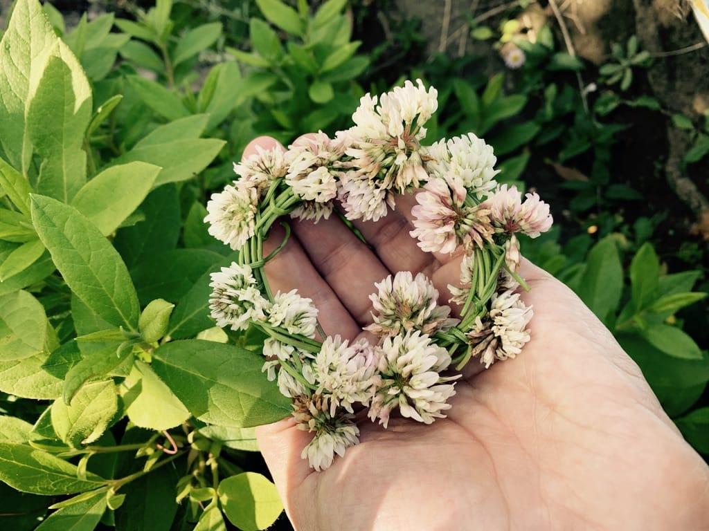 Couronnes de fleurs de trèfles