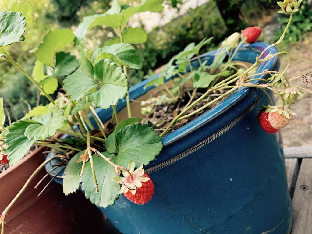 fraises dans un pot bleu