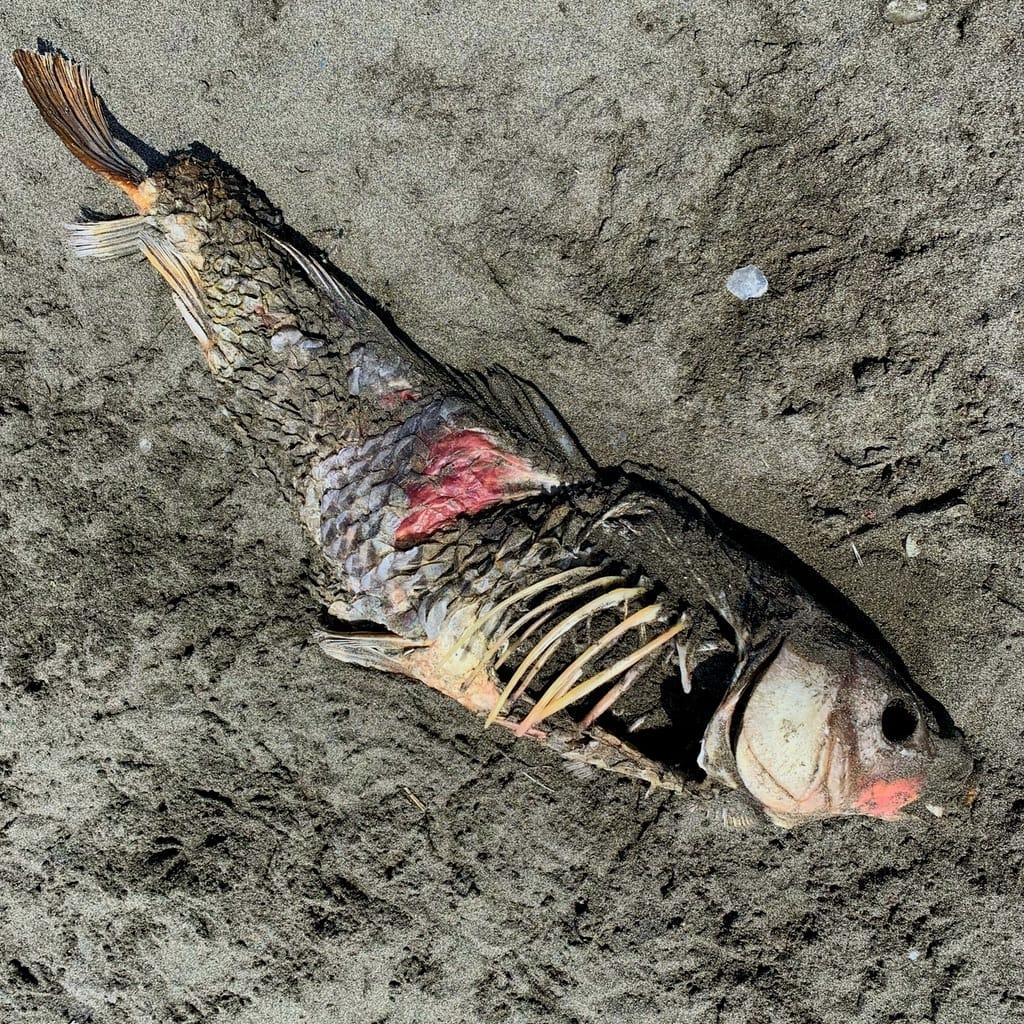 Carcasse de poisson mort