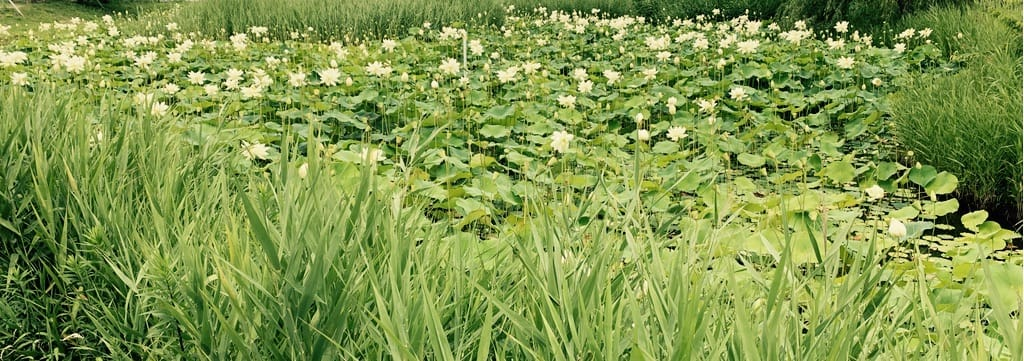 étang avec des lotus blancs fleuris.