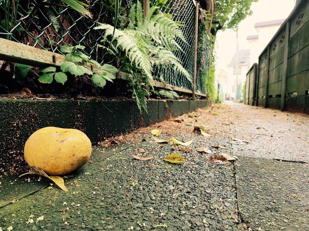 Agrume jaune sur le sol dans un chemin humide, fougères à travers la clôture.