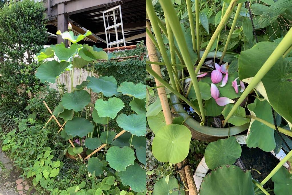 lotus dans un pot.