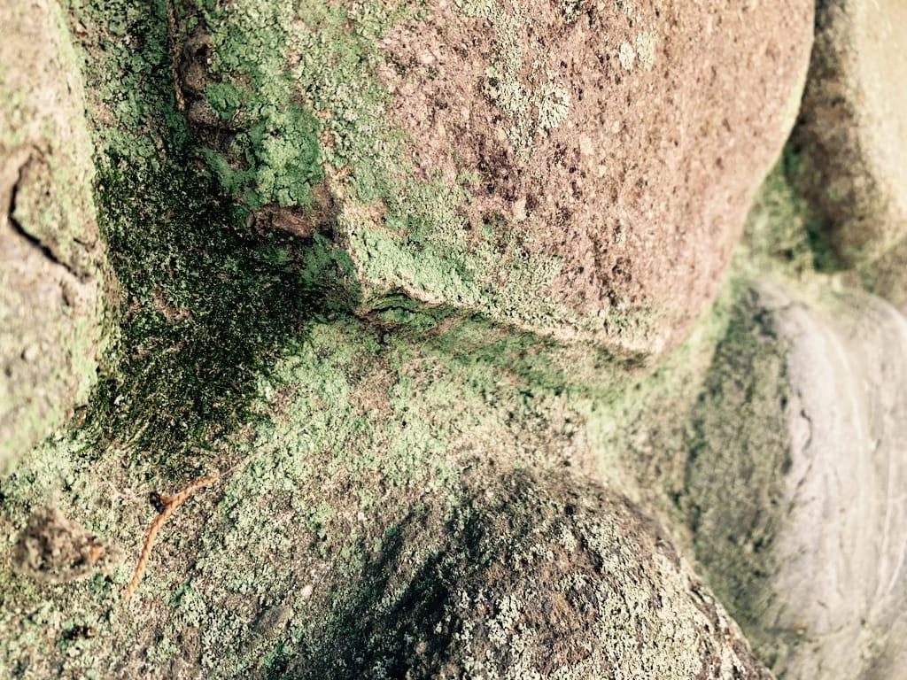 mousse séchée sur un mur de pierre.