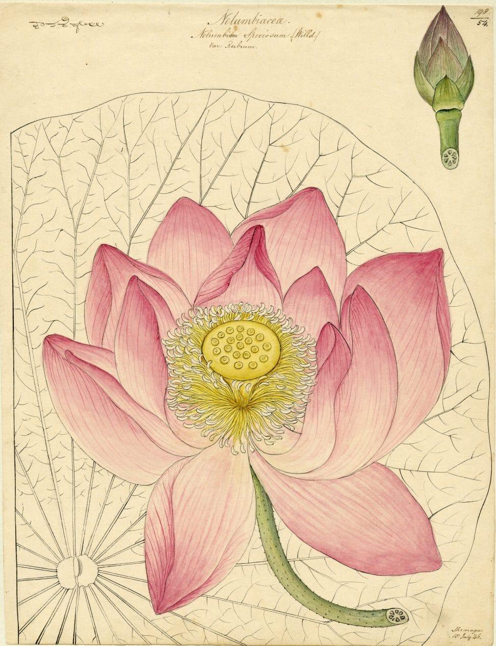 Planche botanique représentant un lotus.