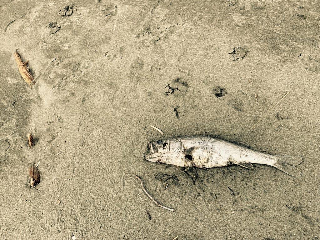 Poisson mort sur la plage.