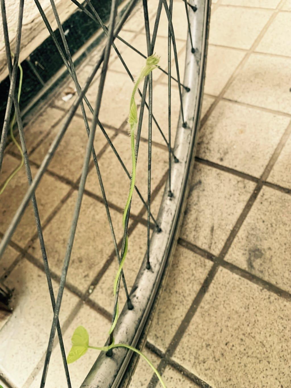 Volubilis sur les rayons d'une roue de vélo.